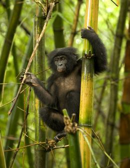 photo 7/66 - Bonobos - © SND