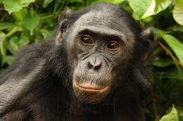 photo 39/66 - Bonobos - © SND
