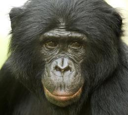 photo 25/66 - Bonobos - © SND