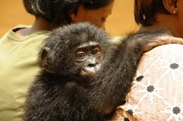 photo 38/66 - Bonobos - © SND