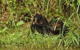 photo 5/66 - Bonobos - © SND