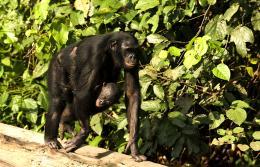 photo 28/66 - Bonobos - © SND