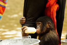 photo 46/66 - Bonobos - © SND
