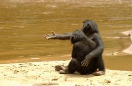 photo 45/66 - Bonobos - © SND