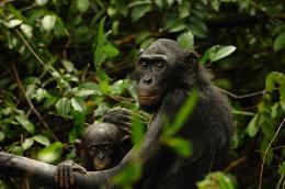 photo 60/66 - Bonobos - © SND