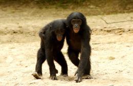 photo 23/66 - Bonobos - © SND