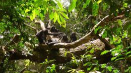 photo 4/66 - Bonobos - © SND