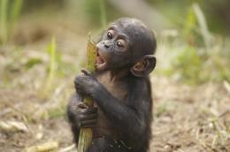 photo 65/66 - Bonobos - © SND