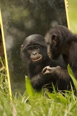 photo 13/66 - Bonobos - © SND
