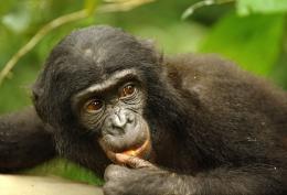 photo 41/66 - Bonobos - © SND