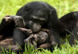 photo 36/66 - Bonobos - © SND