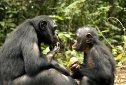 photo 40/66 - Bonobos - © SND