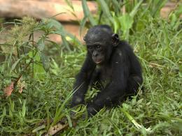 photo 8/66 - Bonobos - © SND