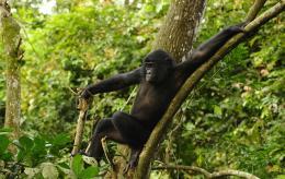 photo 34/66 - Bonobos - © SND