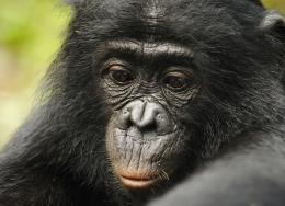 photo 11/66 - Bonobos - © SND