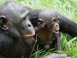photo 20/66 - Bonobos - © SND