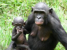 photo 33/66 - Bonobos - © SND