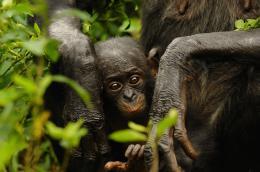 photo 49/66 - Bonobos - © SND