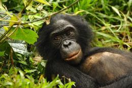 photo 14/66 - Bonobos - © SND