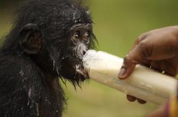 photo 62/66 - Bonobos - © SND