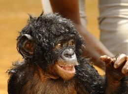 photo 17/66 - Bonobos - © SND