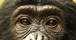 photo 6/66 - Bonobos - © SND