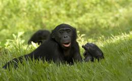 photo 48/66 - Bonobos - © SND