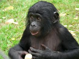 photo 26/66 - Bonobos - © SND