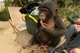 photo 61/66 - Bonobos - © SND