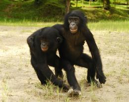 photo 15/66 - Bonobos - © SND