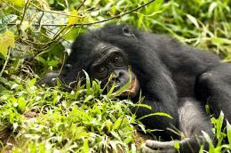 photo 27/66 - Bonobos - © SND