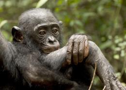 photo 54/66 - Bonobos - © SND