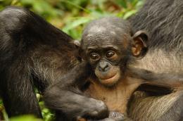 photo 35/66 - Bonobos - © SND