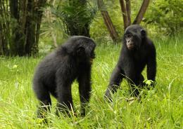 photo 3/66 - Bonobos - © SND
