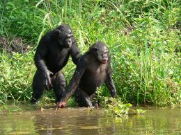 photo 16/66 - Bonobos - © SND