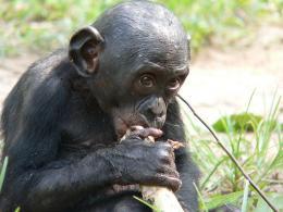 photo 30/66 - Bonobos - © SND