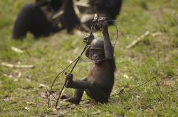 photo 57/66 - Bonobos - © SND
