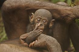 photo 64/66 - Bonobos - © SND