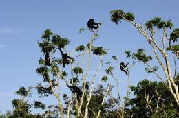 photo 22/66 - Bonobos - © SND