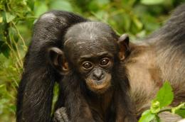 photo 50/66 - Bonobos - © SND