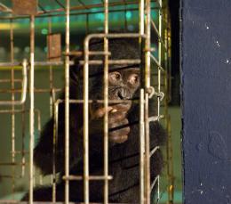 photo 21/66 - Bonobos - © SND