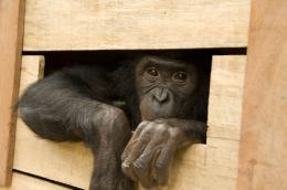 photo 55/66 - Bonobos - © SND