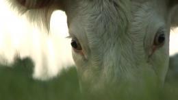 photo 4/9 - Bovines - © Happiness Distribution