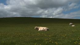 photo 6/9 - Bovines - © Happiness Distribution