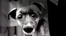 photo 1/1 - Peau de chien
