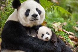 photo 32/40 - Nés en Chine - © Walt Disney Pictures