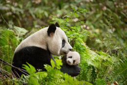 photo 16/40 - Nés en Chine - © Walt Disney Pictures