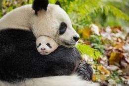 photo 19/40 - Nés en Chine - © Walt Disney Pictures