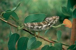 Genesis. Caméléon sur un eucalyptus photo 4 sur 10