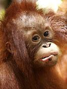 Orangs-Outangs : Minuit moins une